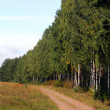 Birch forest — Stock Photo #1453925