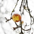 Apples on tree and first snow - Stock Photo