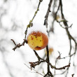 Stock Photo: Apples on tree and first snow
