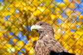 White-tailed (sea) eagle — Stock Photo