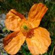 The Alpine poppy — Stock Photo