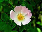 Flower of a dog-rose — Stock Photo