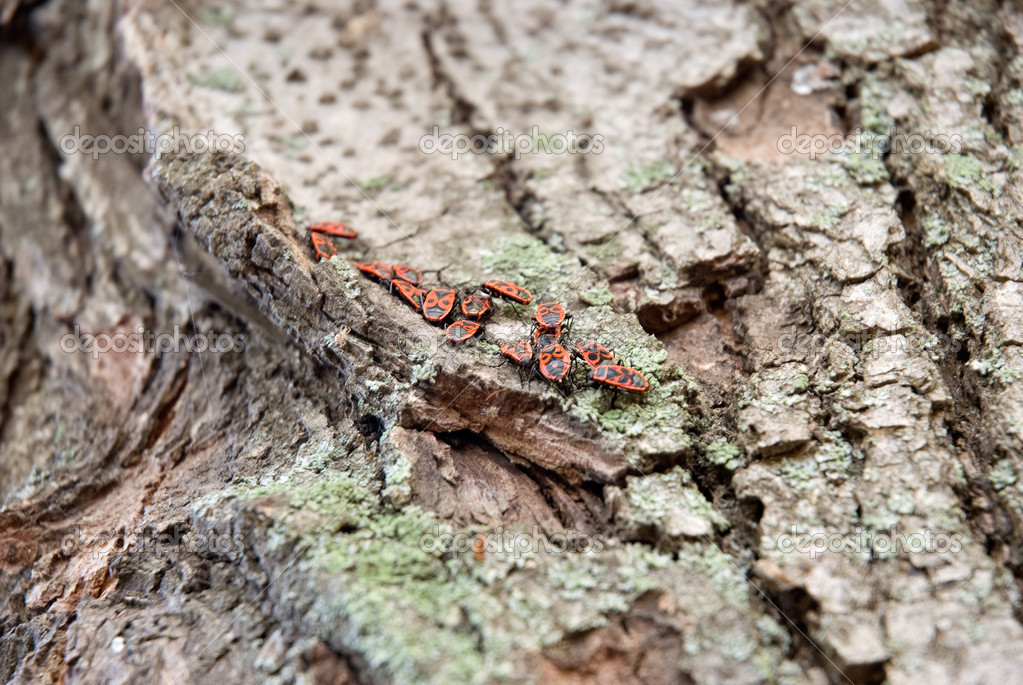 Red beetles sit on a bark of a tree — Stock Photo #1488282