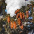 Royalty-Free Stock Photo: Fir cones