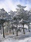 Trees in a snow — Stock Photo
