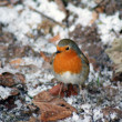 Royalty-Free Stock Photo: A robin