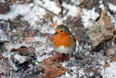 A robin — Stock Photo