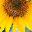 Sunflower background — Stock fotografie