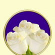 White Rose on greeting card — Stock Photo