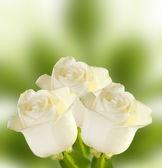 Fundo de três rosas brancas — Fotografia Stock
