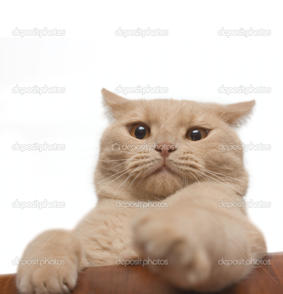 Annoyed cat isolated on white for your design  Stock Photo #2311544