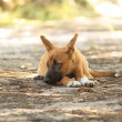 Dingo pup — Stock Photo #1431057
