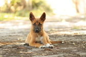 Dingo pup — Stock Photo