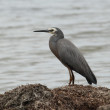 Stock Photo: White-faced Heron