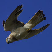 Nankeen Kestrel — Stock Photo
