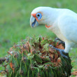 Stock Photo: Long-billed Corella