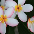 Frangipani — Stock Photo #2641918