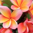 pink frangipani — Stock Photo