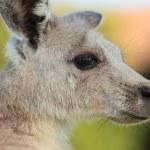 Female Eastern grey kangaroo — Stock Photo