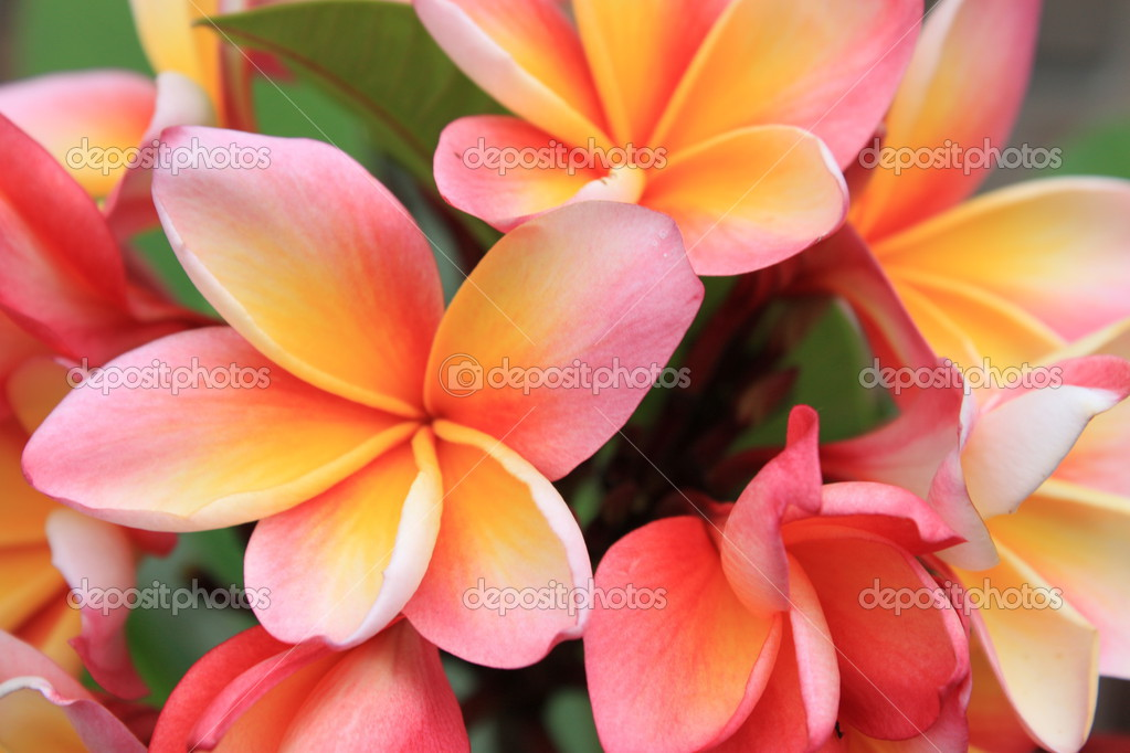 A beautiful pink frangipani plant in full flower. — Stock Photo #2641993