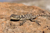 A lizard (Lacertilia) — Stock Photo