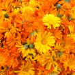 Great Number of Orange Calendula — Stock Photo #1506243