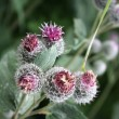Purple Burdock — Stock Photo
