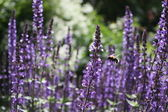 Flying Bumblebee in the Lavender Glade — Stock Photo