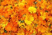 Wiele nagietek pomarańczowy — Zdjęcie stockowe