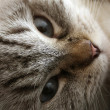 Portrait of Attentive Cat — Stockfoto