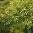 Stock Photo: Ladybird in Yellow Dill
