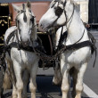 Two Harness Horses — Stock Photo #1869175
