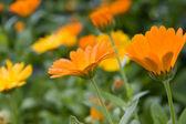 Blooming Orange Marigolds in the Garden — Stock Photo