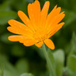 Single Orange Marigold after Rain — Stock Photo #1870802