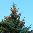 Fir - tree and cones — Stock Photo #1477671
