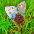 Royalty-Free Stock Photo: Two butterflies on a flower