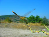 A dragon-fly sits on a branch — Stock Photo