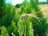 Dragon-fly — Stock Photo