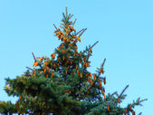 Fir - tree and cones — Stock Photo