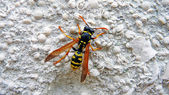 The wasp sits on a wall — Stock Photo