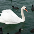 A swan and ducks — Stock Photo #2106587