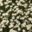 Beautiful daisies — Stock Photo