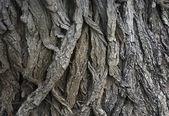 Maple's bark — Stock Photo