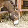 Young donkey eating hay — Stock Photo