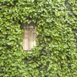Windows and ivy — Stock Photo