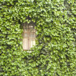Windows and ivy — Photo