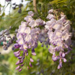 Wisteria — Stock Photo #1457080
