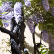 Wisteria — Stock Photo #1457089
