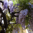 Wisteria — Stock Photo #1457107