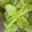 Basil — Stock Photo #1457520